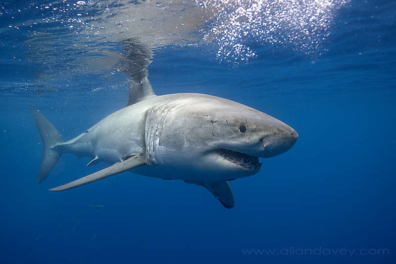 Great White Shark- Guadalupe Island