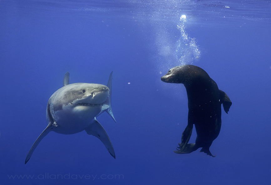 What is it like to come face to face with a great white shark