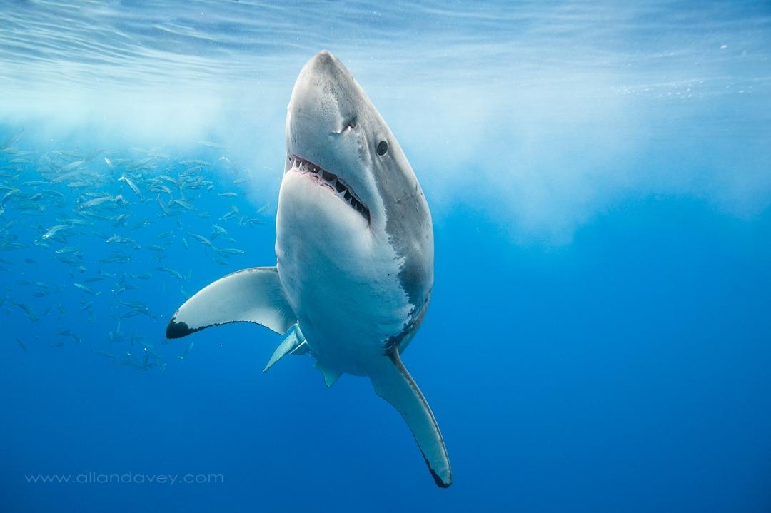 Shark_DSC3103-LRES