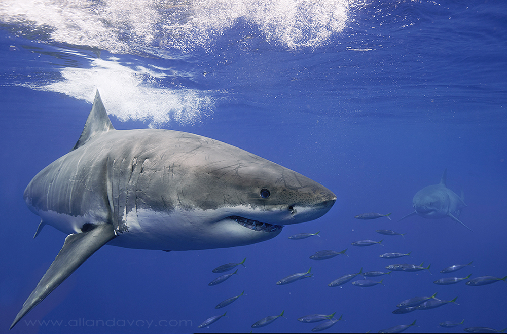 White sharks are loners so when they gather at feeding grounds like Guadalupe they have to sort out who is boss. The circle each other then swim along beside each other to size up who is the bigger shark.